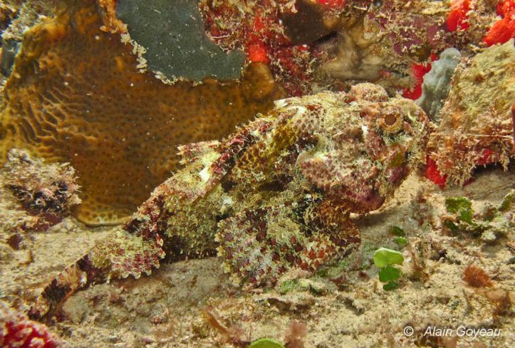 Poisson Vingt-quatre heures (Scorpaena plumieri).