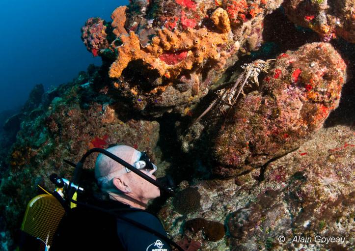 La langouste Royal fait partie des espèces animales sous-marine que vous pouvez rencontrer lors de vos plongées en Guadeloupe.
