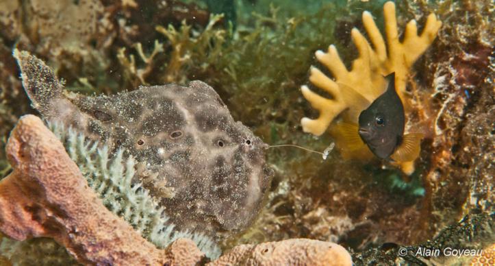 L'antennaire agite son leurre, duppé un poisson Demoiselle s'approche ...