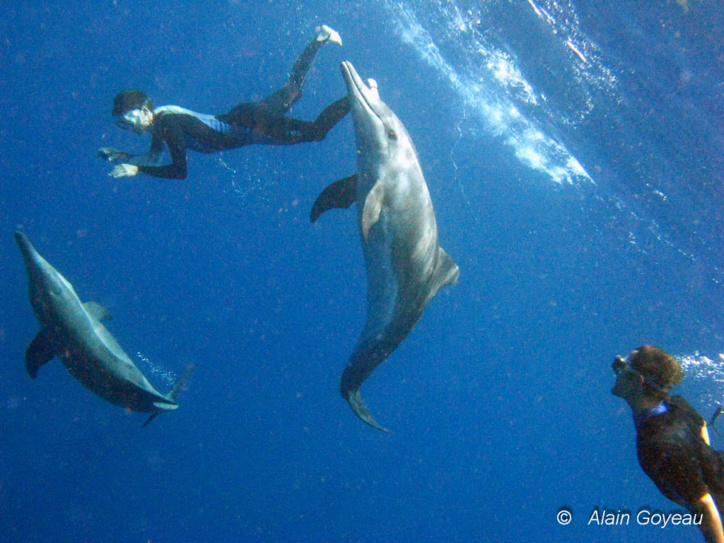 Des Dauphins Sténos très joueurs avec les plongeurs. Plongée Guadeloupe.