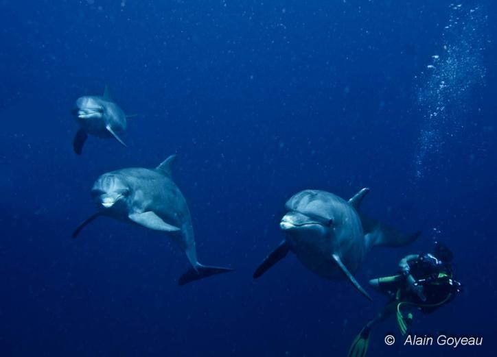 Des dauphins viennent à la rencontre des plongeurs en Guadeloupe.