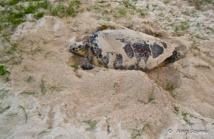 Une tortue Imbriquée en ponte sur l'une des plages sauvages de Port-Louis.