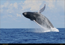 La Baleine à Bosse est capable de faire des sauts spectaculaires.