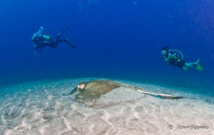 La Raie Pastenague se repose sur le sable indifférente aux plongeurs.