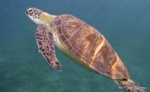 Une tortue Verte remonte à la surface pour respirer.