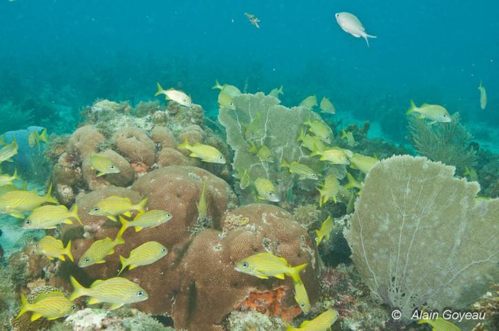 Des Gorettes (Haemilon flavolineatum) vivent sur le site de l'Aquarium.