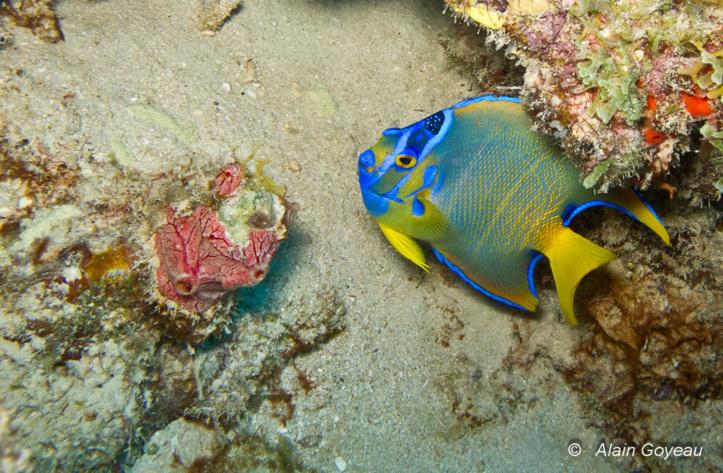 Le Poisson Ange Royal (Holacanthus ciliaris) le plus coloré des poissons de Guadeloupe.