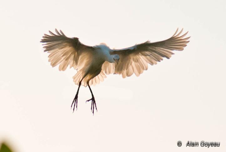 Une Aigrette rejoint le dortoir de l'Ile aux Oiseaux. Petit Canal Guadeloupe.