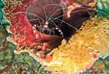 Grande Crevette Nettoyeuse (Stenopus hispidus).