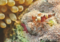 Crevette de Thor (Thor amboinensis)