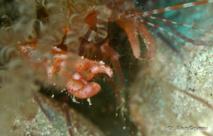 La pince hypertrophiée de la crevette Pistolèro est capable de produire un claquement audible pour le plongeur.