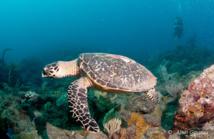 Une Tortiue Imbriquée rencontrée en plongée en Guadeloupe.
