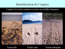 Chaque espèce de tortue marine laisse une trace bien particulière sur les plages de ponte en Guadeloupe.