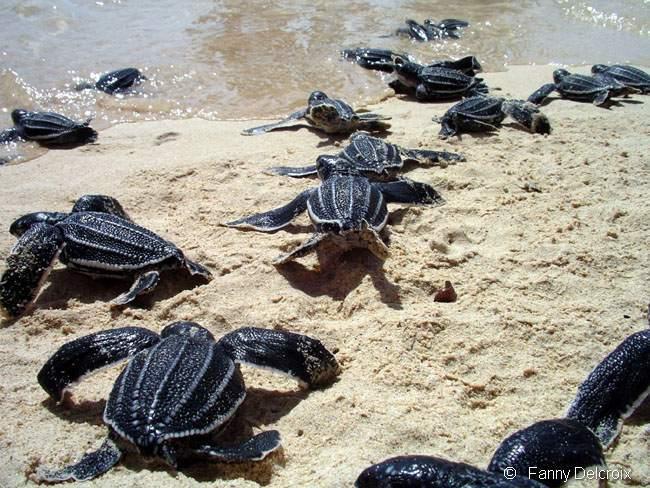 Encore un dernier effort et c'est la mer avec tous ses dangers. Tortue marine Guadeloupe.