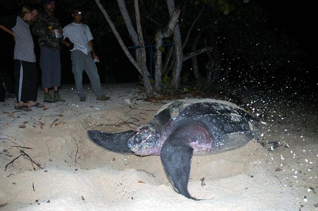 Une tortue Luth vient pondre sur la plage du Souffleur à Port-Louis en Guadeloupe.