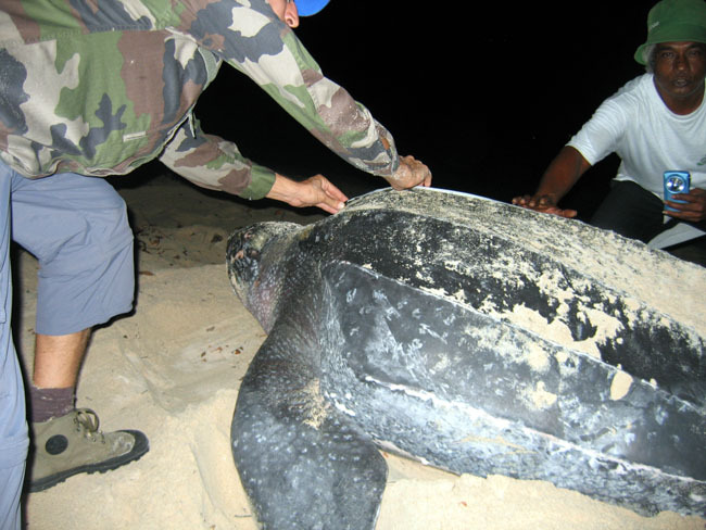 La carapace de la tortue Luth est mesurée. Elle ne posséde pas d'écaille mais une peau à l'aspect du cuir.