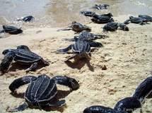 D'instinct les bébés tortues Luth se dirigent vers la mer.