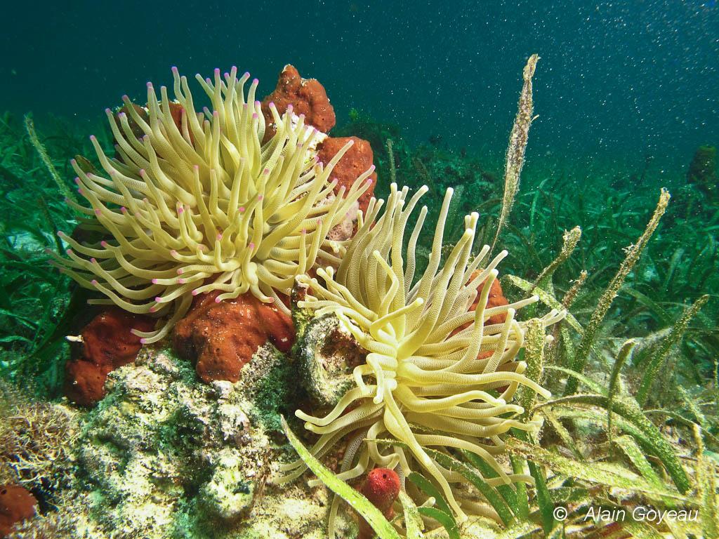 Deux Anémones de Mer Géantes déploient leurs longs tentacules pour capturer des proies.