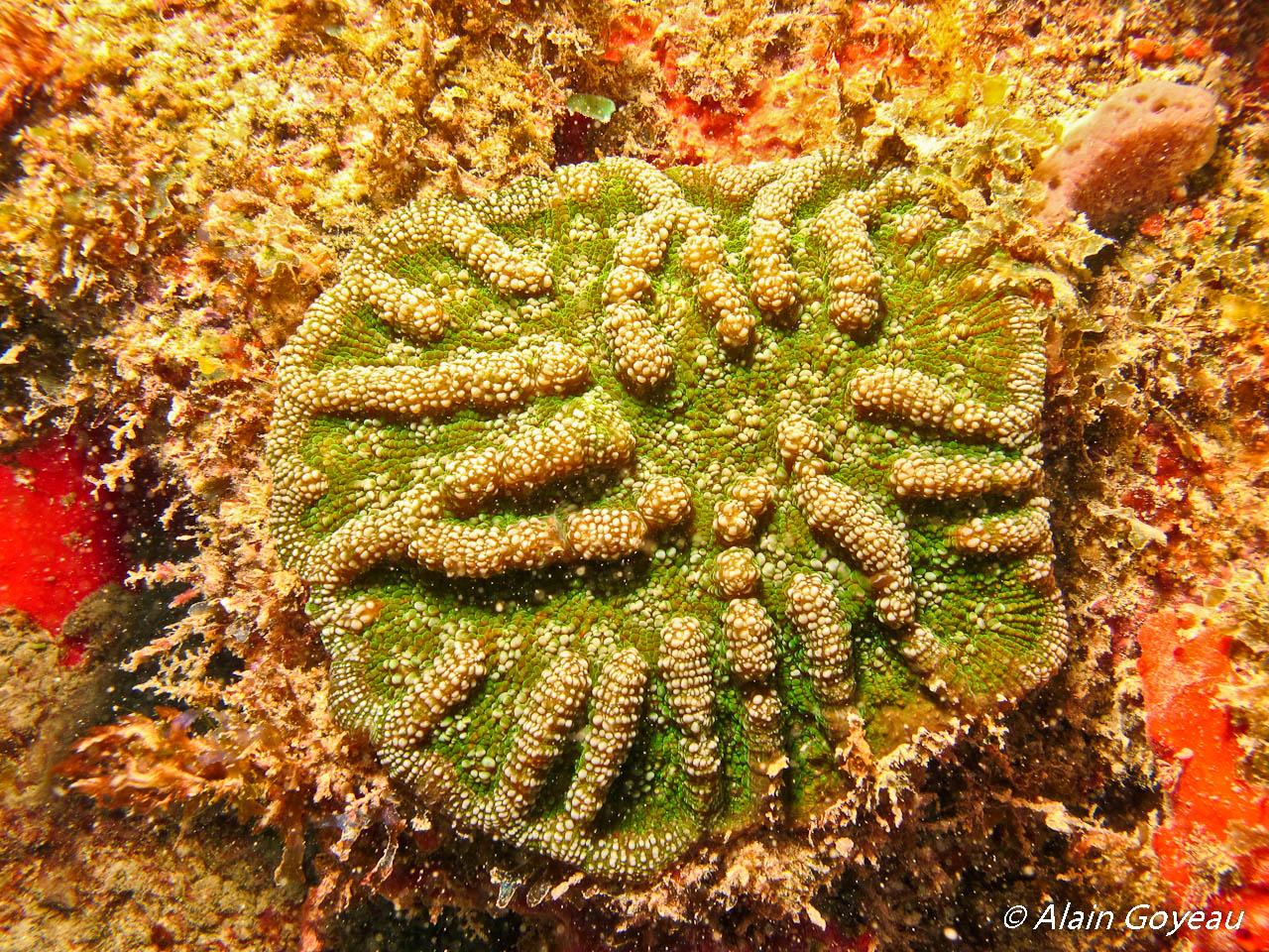Mycetophyllia aliciae: Corail cactus rugueux.