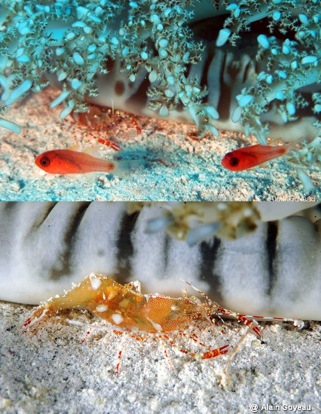 Des crevette et Poissons Apogons se dissimulent sous une méduse Cassiopée.