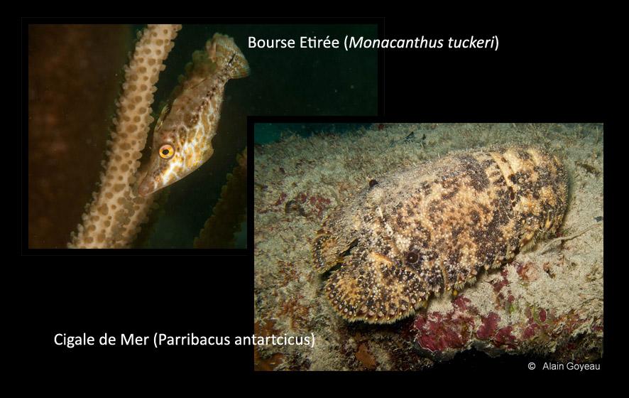 La Bourse Naine et la Cigale de mer utilisent les couleurs de l'environnement pour passer inaperçu.