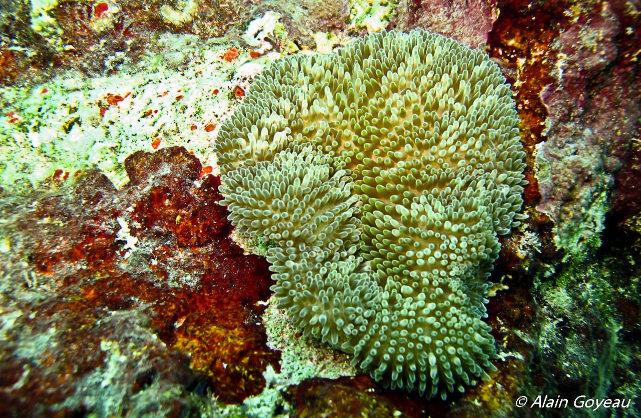 L'Anémone Soleil abrite de nombreuses crevettes dans ses tentacules urticants.