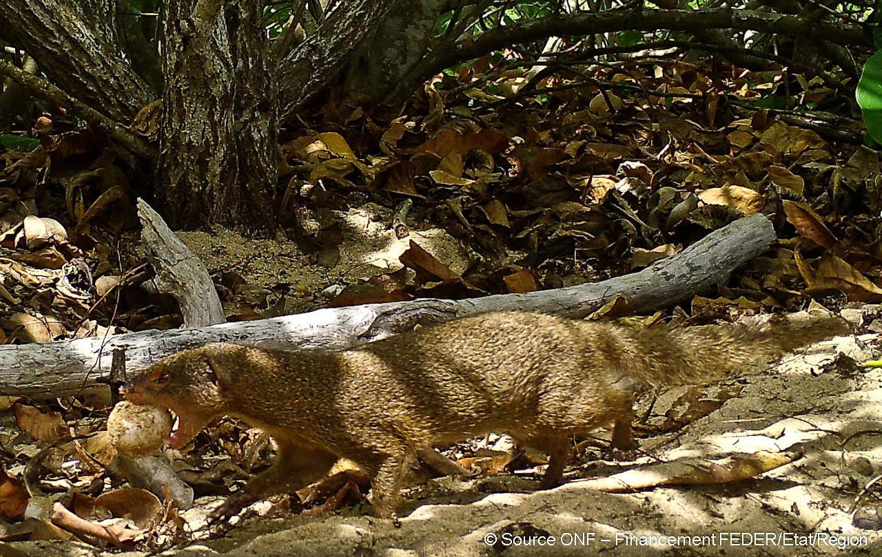 La mangouste prélève des oeufs dans le nid de tortue pour aller les dévorer plus loin.