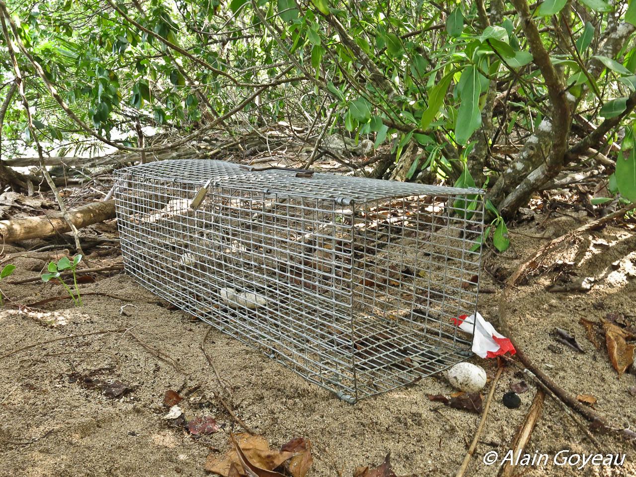 Piège cage utilisé pour la capture de la Mangouste Indienne en Guadeloupe.
