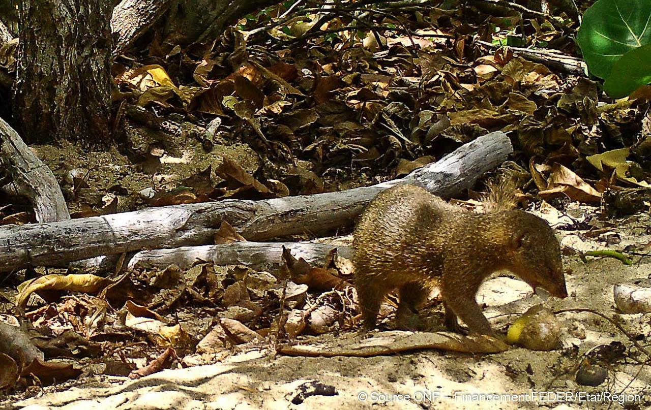 Une mangouste Indienne dévore un oeuf de tortue marine.
