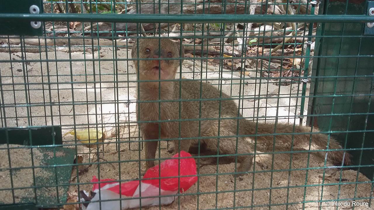 Une mangouste Indienne prise au piège.