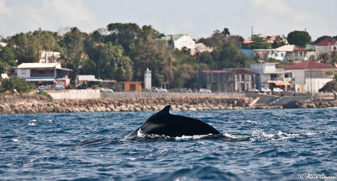 Rencontre aec les baleines à bosse.