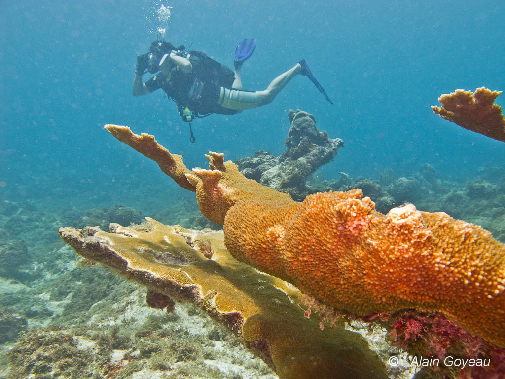 Les coraux Corne d'Elan ( Acropora palmata) décimés par une maladie en Guadeloupe repoussent à nouveau.