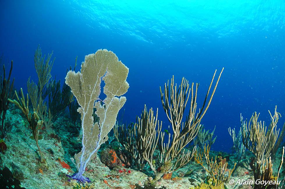 Les Gorgones sont des animaux. Biologie Guadeloupe.