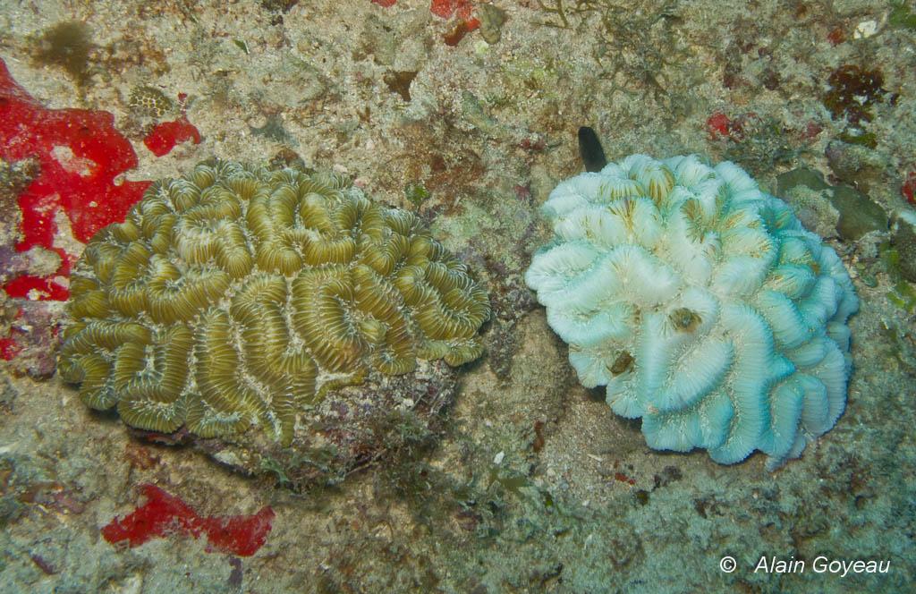 Colonies de coraux Meandrina meandrites, celle de droite a perdu ces Zooxanthelles laissant apparaitre son squelette calcaire.