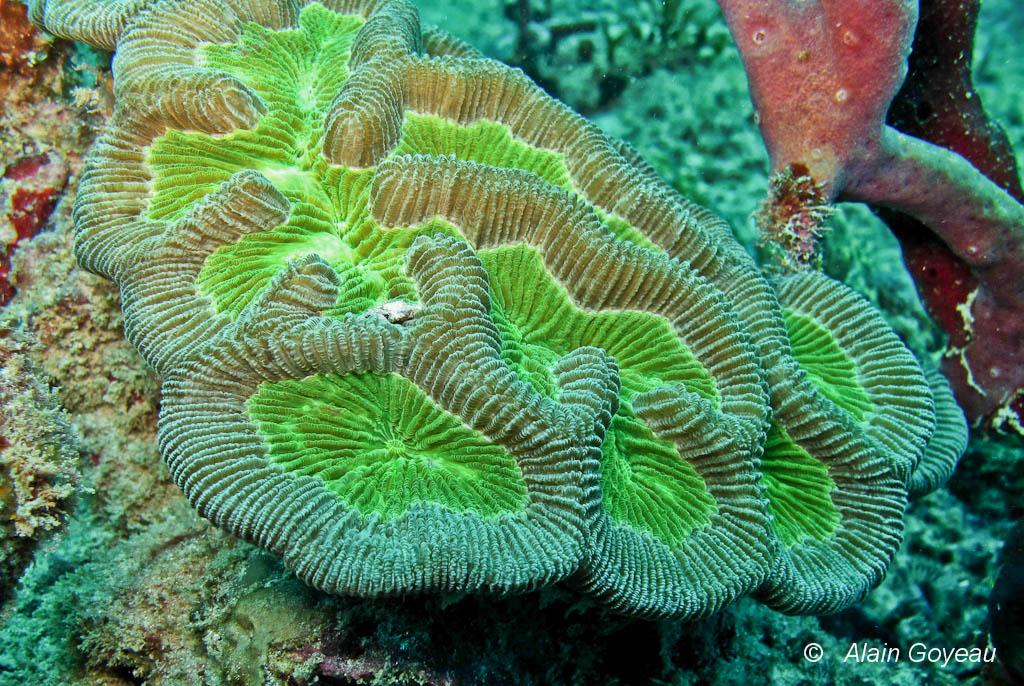 Ce sont les algues symbiotiques, Zooxanthelles, qui donne sa coloration à ce corail à méandres.