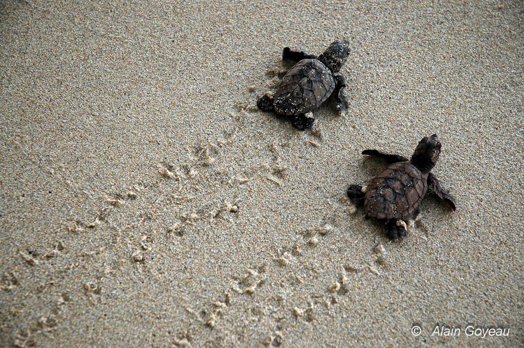 Deux bébés tortues imbriquées regagnent la mer. Biologie Guadeloupe.