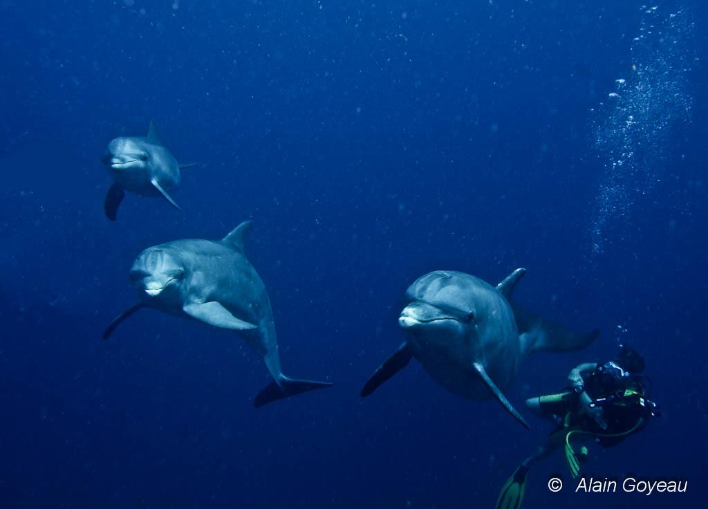 Rencontre en plongée avec des Grands Dauphins une espèce qui fréquente les eaux de Guadeloupe.