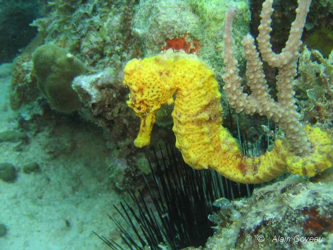 Les hippocampes sont relachés sur le site à baptême du Trou à l'Orage en Guadeloupe.