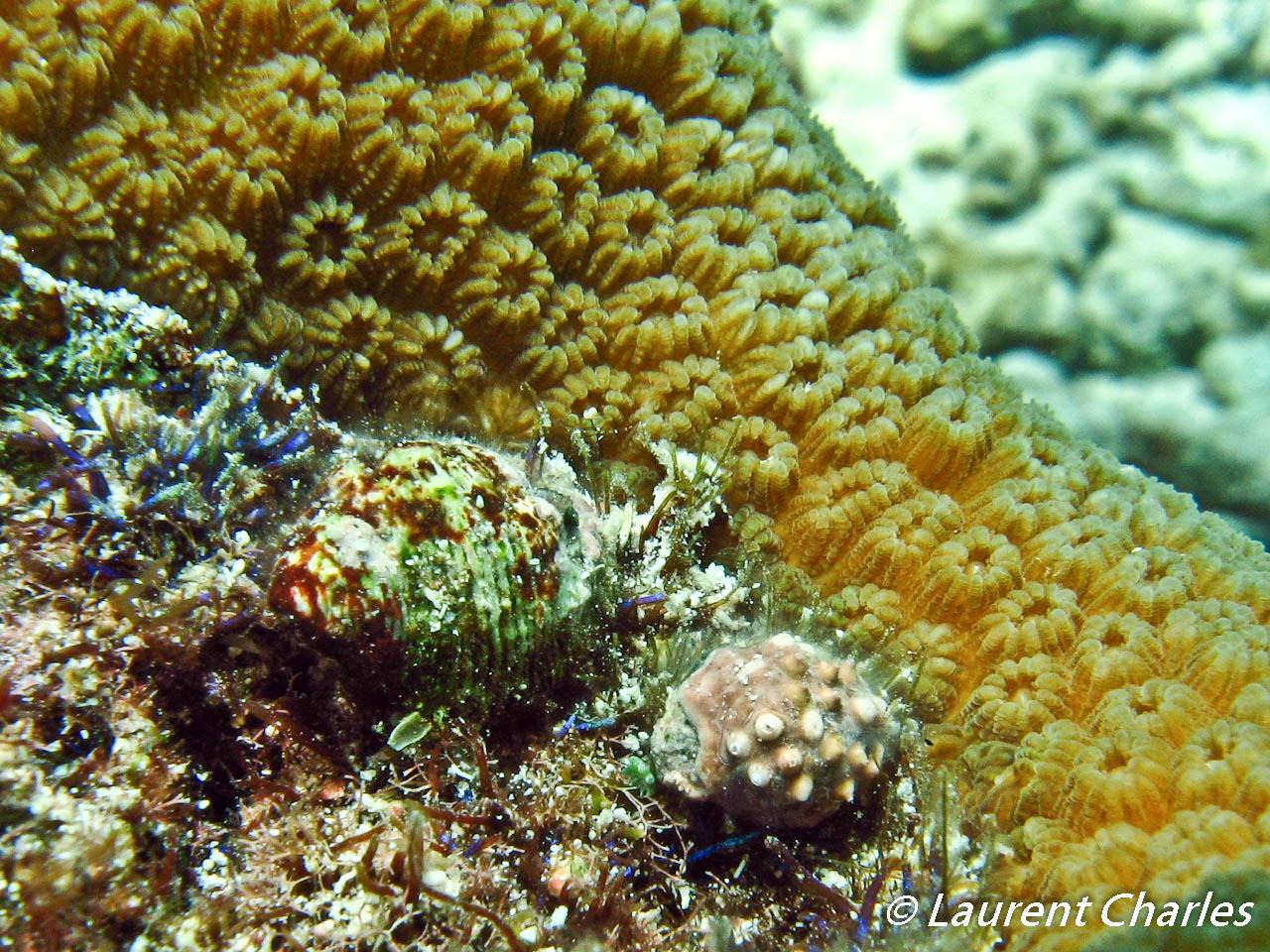Coralliophila caribaea parasite du corail Montastrea annularis.
