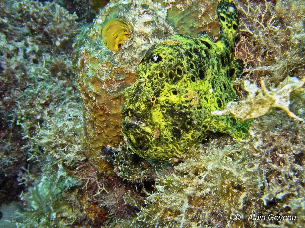 Son camouflage est parfait, le rendant invisible au plongeur néophyte.