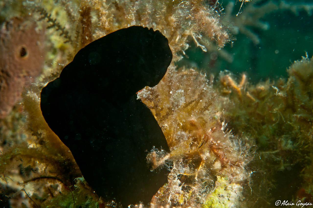L'Ascidie noire (Phallusia nigra) dérangée à l'approche du plongeur ferme rapidement ses siphons et se ratatine.