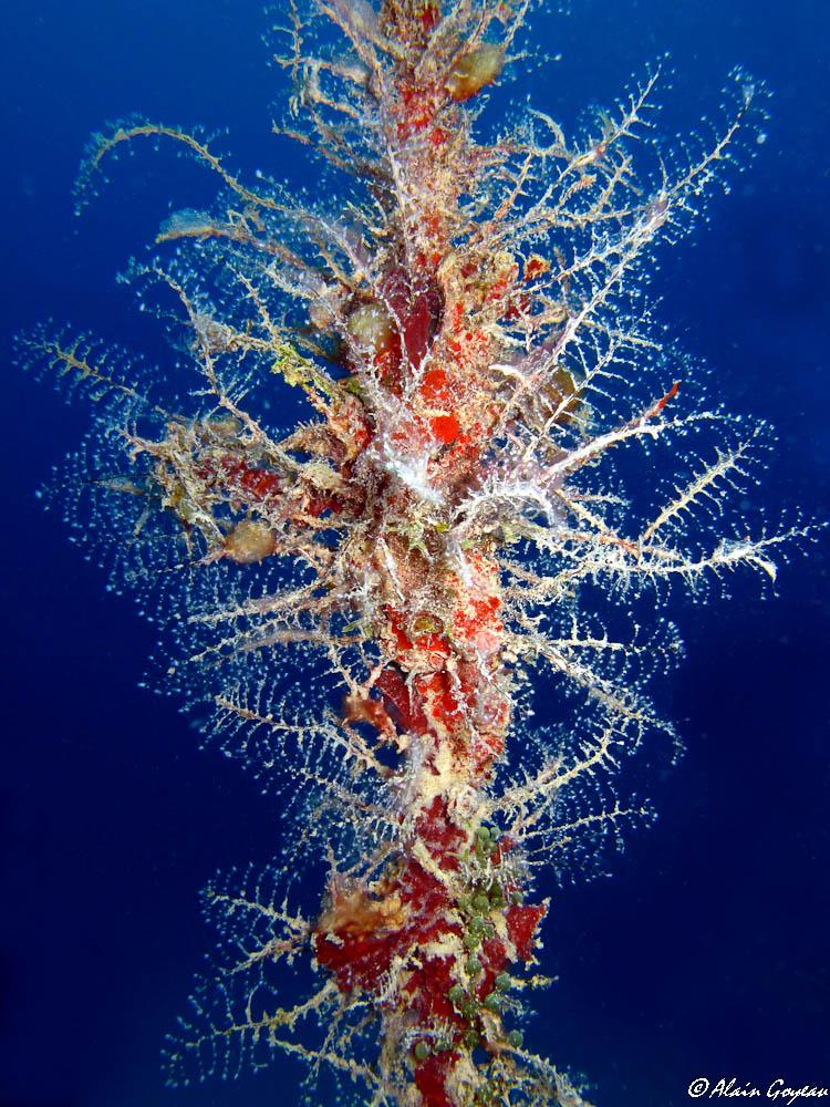 L'Hydraire des Amarres comme sont nom l'indique vit fixé sur de vieux cordages.