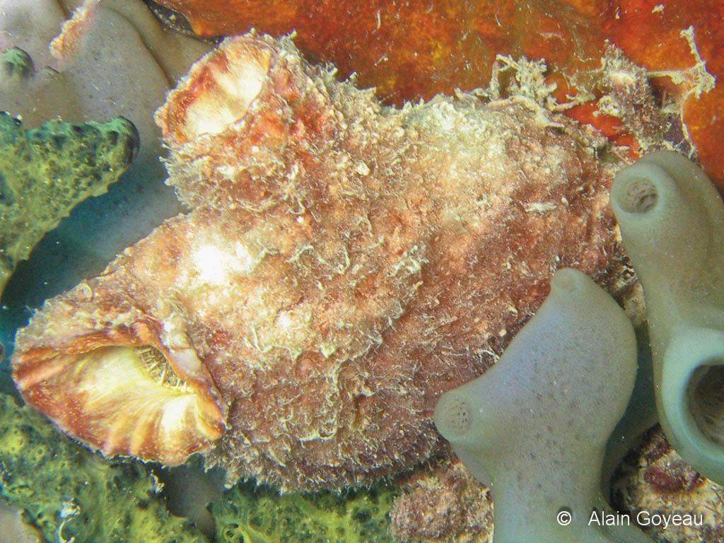 L'Ascidie Solitaire (Polycarpa spongiabilis) est la plus grande des ascidies de Guadeloupe, 7 à 10 centimètres.