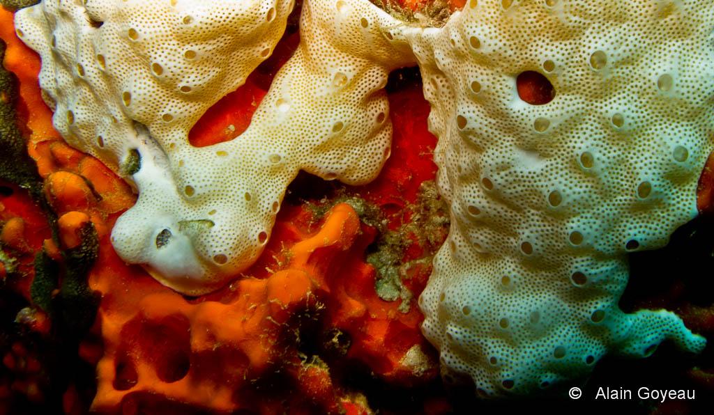 Chaque petit trou de cette colonie de Synascidie blanche représente un individu, seul le siphon exhalant est commun.