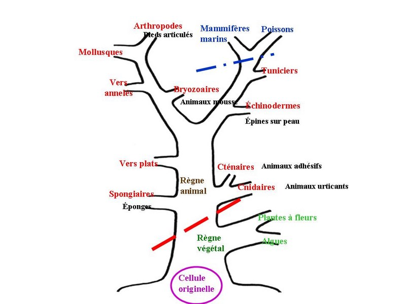 Arbre phylogénétique du règne animal sous-marin. Les mollusques se trouvent en haut de l'arbre.