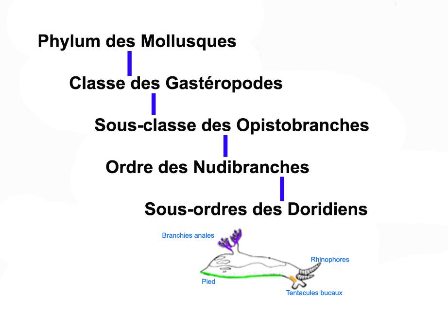 Arbre Phylogénétique de Hypselodoris alaini.