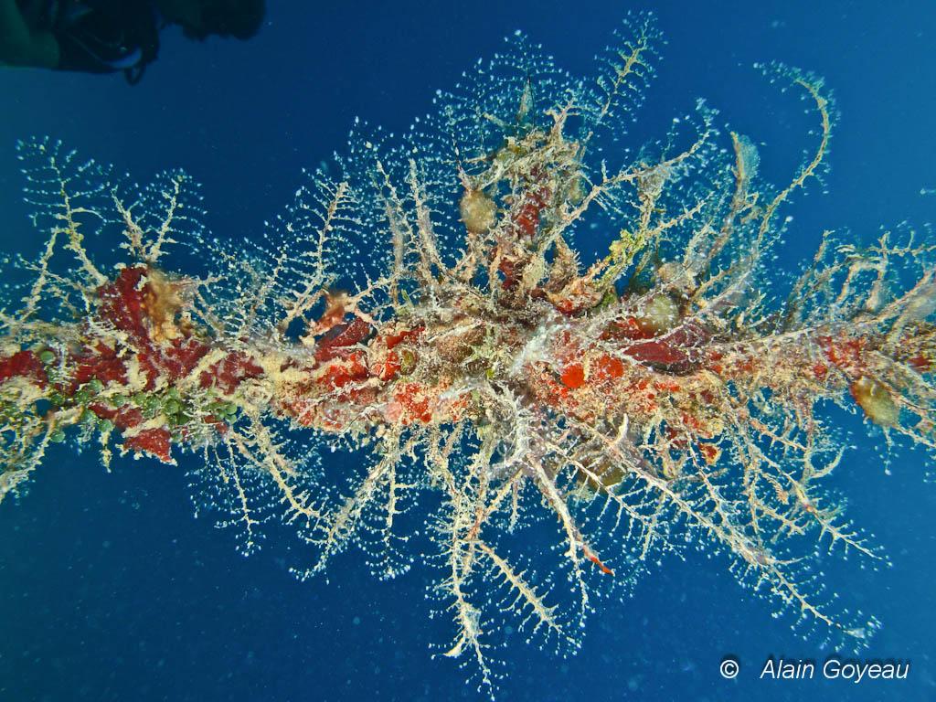 l'Hydraire Arbre de Noël (Halocordyle disticha). On le rencontre sur de vieux cordages.