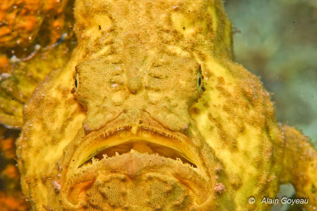 Sa grande bouche extensible lui permet d'avaler des proies presque aussi grosse que lui.