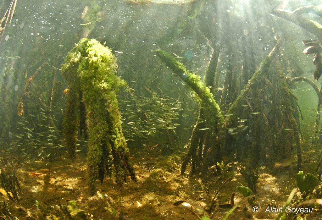 Au milieu des racines se cachent des poissons juvéniles.