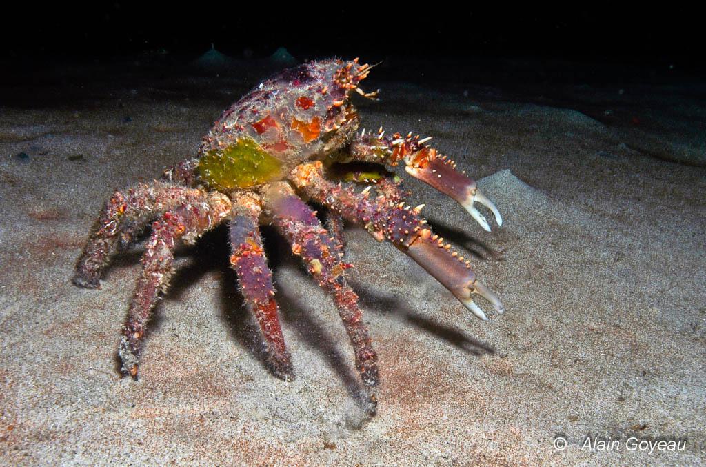 Un Crabe Araignée (Mithrax spinosissimus) explore une zone sableuse a la recherche de nourritue.